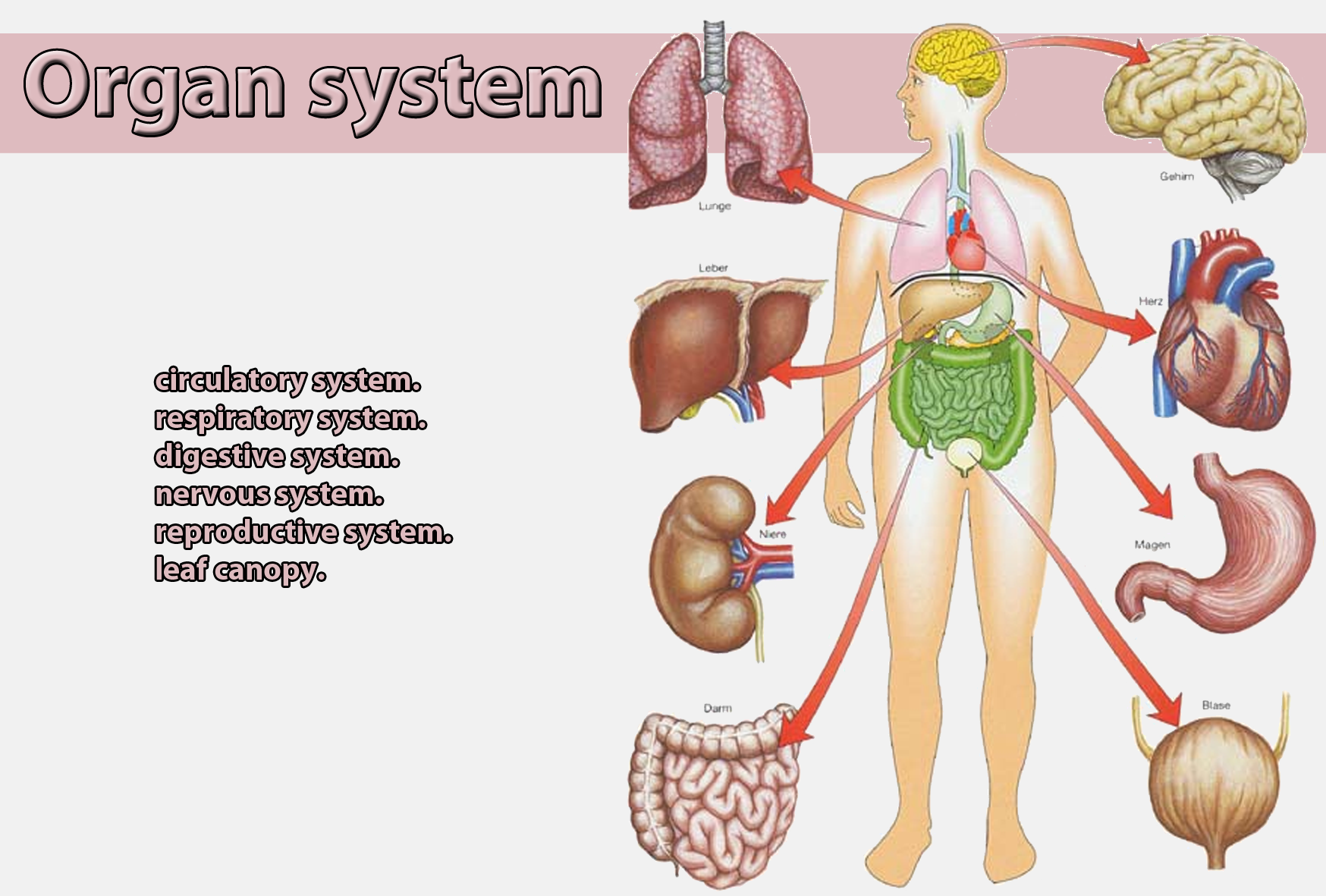 Pictures of human organ systems