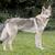 Wolfdog109