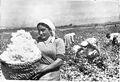 Armenian cotton.jpg