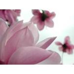 Magnolialioness