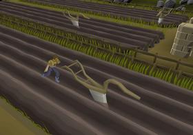 Ploughing Hosidius field