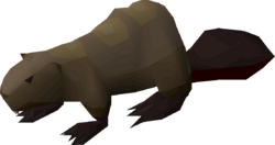 Beaver pet