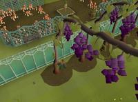 Harvesting grape vines