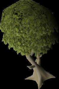 Mature juniper tree