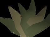 Goutweed