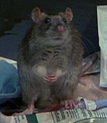Rat-2-dr-dolittle-4.4