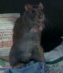 Rat-1-dr-dolittle-14.6