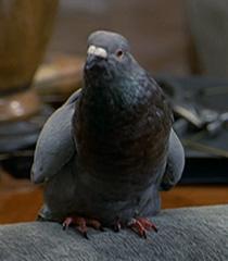 Pigeon-male-dr-dolittle-66.8