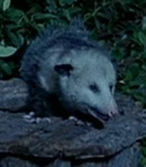 Possum-dr-dolittle-9.82