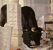 Bolero The Male Iberian Bull