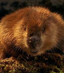 God-beaver-dr-dolittle-2-15.9