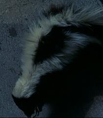 Skunk-dr-dolittle-8.62