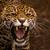 Jaguarkralle