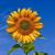 SunflowerLeaf