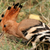 Hoopoes are awesome