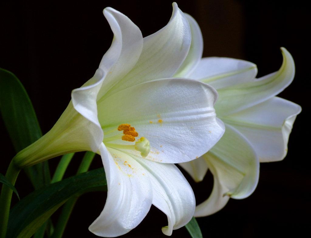 Lily the 39 clues wiki fandom powered by wikia 2 white lilies izmirmasajfo