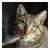 Cheshire Tomcat