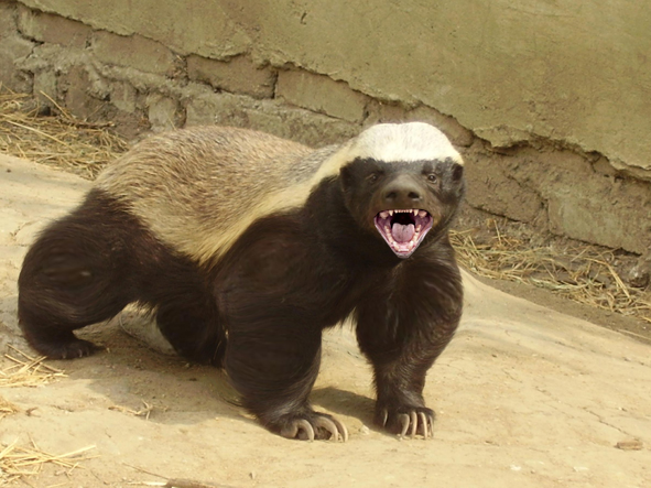 File:Honey-badger.jpg