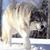 Crimson wolf13
