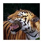 Tigerfan45
