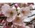 Blossomsky