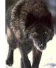 Jake Command Wolf