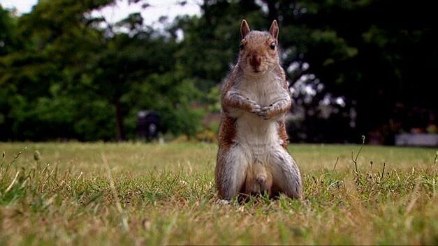 GBBO-SQUIRREL