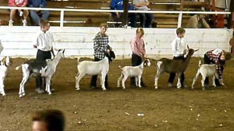 Douglas County Fair 4-H Goat showing