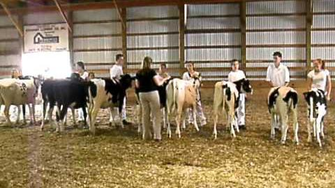 4-H Dairy Cattle at the Stearns County Fair