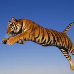 Злобный тигр