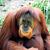 Orangutans99