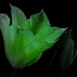 EmeraldTulip