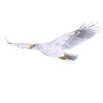 White Eaglet