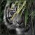 The Dark Tiger