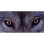 Dragon Wolfe