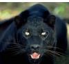 Panthers Rawr