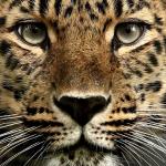 Leopardflame