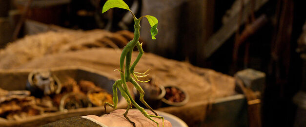 A Bowtruckle - One of the Beasts in Fantastic Beasts and Where to Find Them