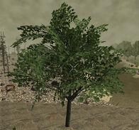PlantedMaple13m