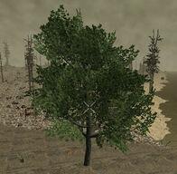 PlantedMaple15m