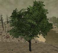 PlantedMaple17m