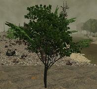 PlantedMaple6m