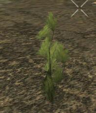 PlantedMountainPine1m