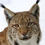 Cryptic Lynx