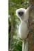 Magic Lemur