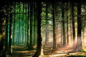 Lightleaf forest