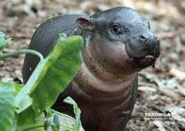 File:Tiny hippo.jpg