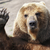 Медведь Сибирский