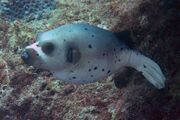 Grey dog-face puffer