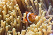 Percula Clownfish and Anemone